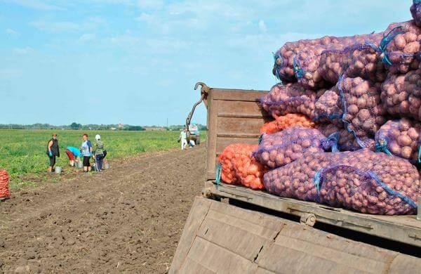 Сроки созревания картофеля и особенности уборки клубней видео
