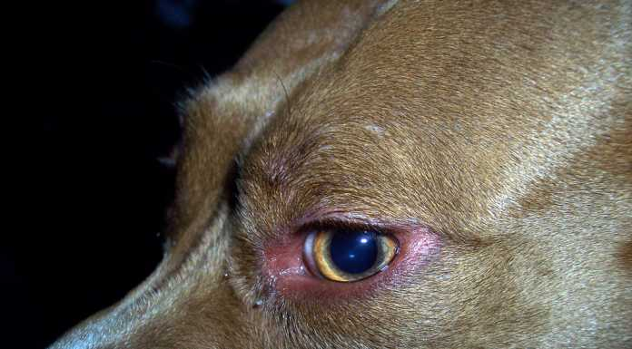 Staffordshire Terrier Стаффордширский терьер