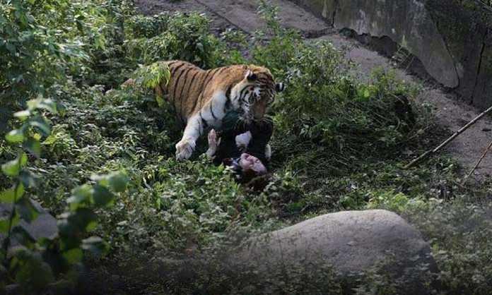 амурский тигр напал на сотрудницу зоопарка