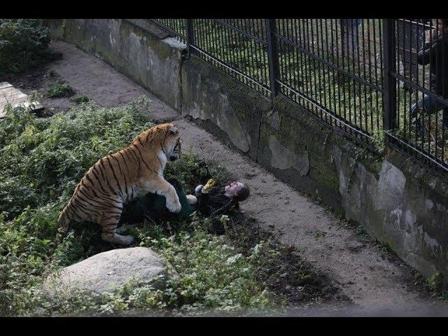 Тигр Тайфун Калининград напал на человека