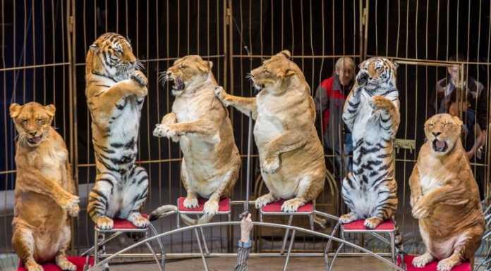 Дрессировщик львиц из цирка Владивостока рассказал, почему они кажутся полными