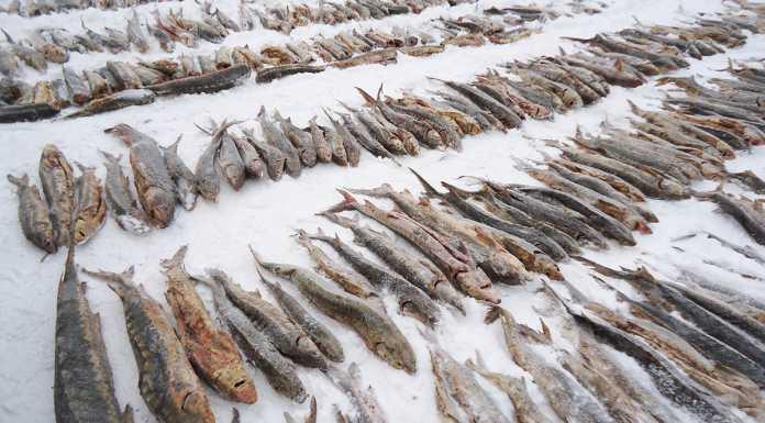 Богатый улов. В Оренбуржье пытались незаконно ввезти 1300 тонн рыбы осетровых пород