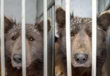 Медведопес появился в Челябинске