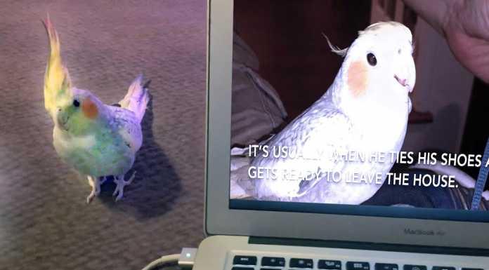 попугай повторяет звонок iPhone
