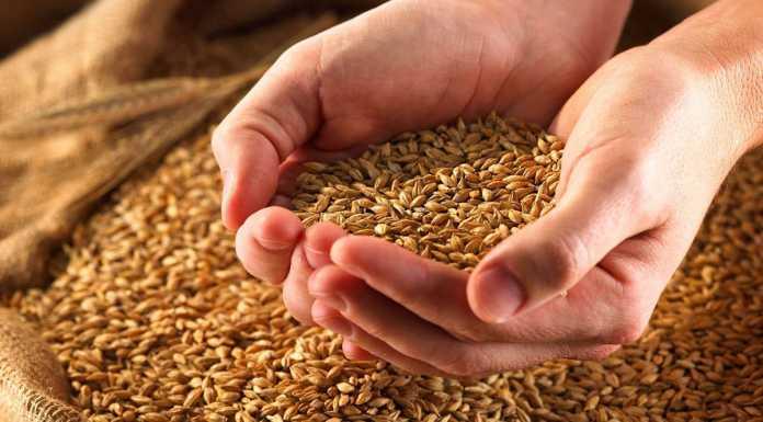 Зерно пшеница