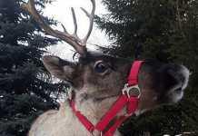 Северный олень спрятался от хозяйки на чердаке