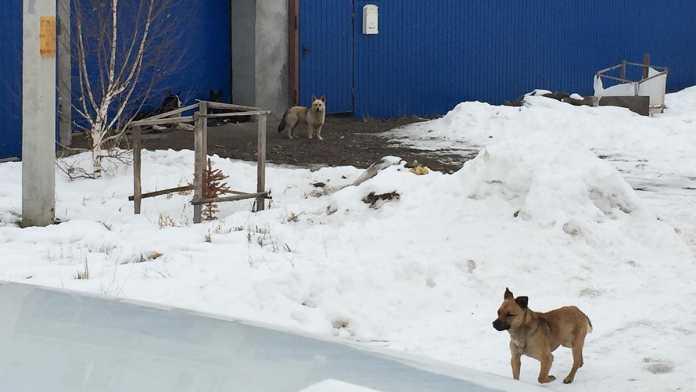 Бродячие собаки Нежинка