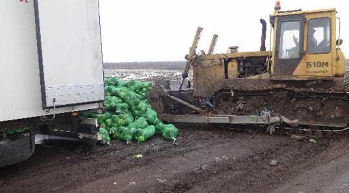 20-тонн капусты пустили под трактор