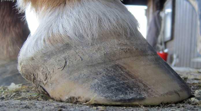 Копыто коровы