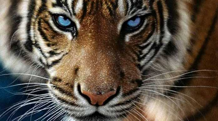 В Орске тигр напал на мужчину