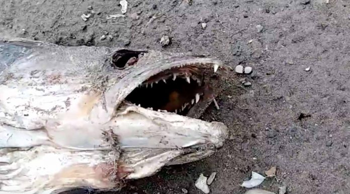 В Ириклинском водохранилище массово гибнет рыба