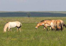 Центр реинтродукции лошади Пржевальского